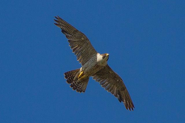 A Peregrine Falcon takes to the skies over Lake Powell